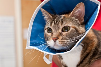 A cat with an elizabethan collar