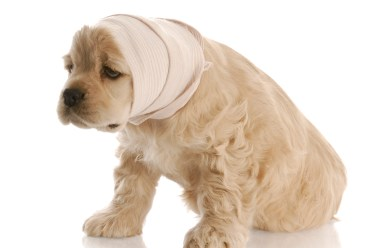 A painful looking dog with ears wrapped in ace bandage